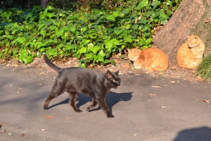 Black Cat Walking Fast Before Ginger Brothers