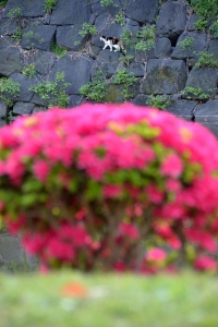 Wall Cat Over Azalea