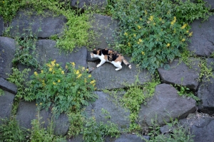 Cat and Yellow Flowers (Fernleaf Corydalis)