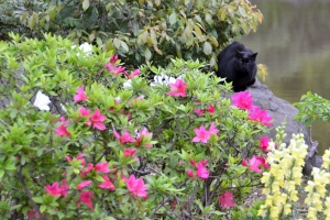 Black Cat and Flowers (Azalea)