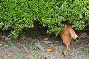 Ai-chan The Cat Goes Hiding In The Bush