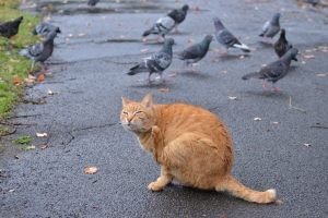 Ai-chan The Cat and Pigeons