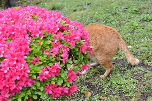Ai-chan The Cat and Flowers (Azalea)