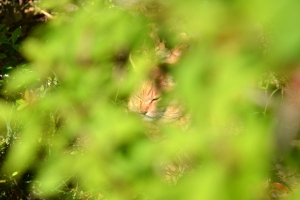 Cat (Ai-chan's Brother) Through Green Leaves