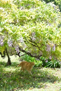 Cat and Flowers (Wisteria)