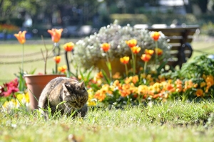Cat and Flowers (Tulips)