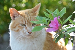Ginger Cat and Flowers (Azalea)