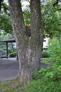 Cat Sitting On a Bough of Kusunoki Tree