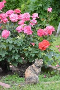 Rose Garden Cat