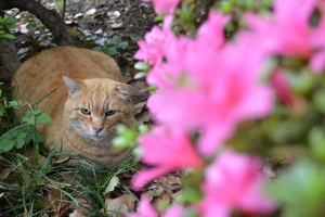 Cat and Flowers (Azalea)