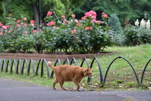 Cat and Flowers (Rose Garden)