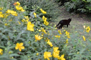 Cat and Flowers (Hypericum patulum)