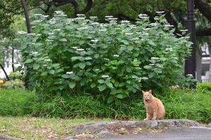 Cat and Hydrangea