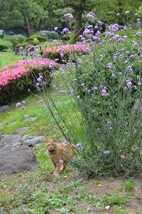 Cat and Flowers (Verbena bonariensis, Azalea)