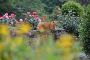 Tree Stump Cat and Flowers (Hypericum monogynum, Rose)