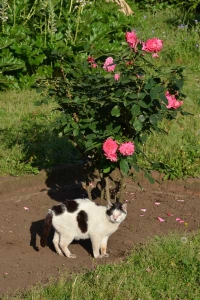 Cat and Flowers (Roses)