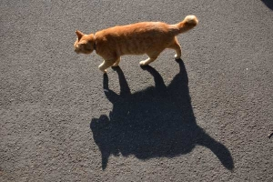 Walking Cat and Its Shadow