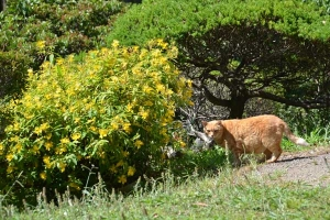 Cat and Flowers (Hypericum monogynum)