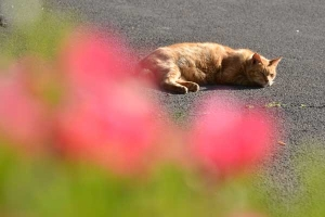 Siesta Cat and Azalea Pink