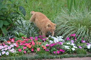 Cat and Flowers (Rose Periwinkle)