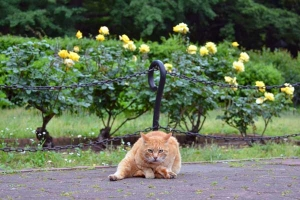 Cat In The Rose Garden