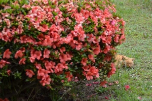 Napping Cat and Flowers (Azalea)