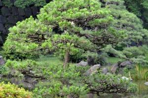 Cat In a Pine Tree