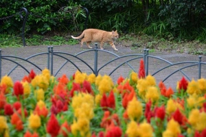 Cat and Flowers (Plumed Cockscomb)