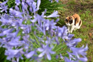 Cat and Agapanthus