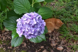 Cat and and Ajisai (Hydrangea)