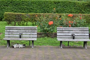 Summer Cat, Benches and Roses
