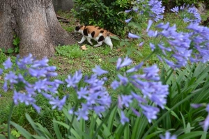 Cat and Flowers (Agapanthus)