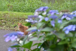 Cat and Flowers (Hydrangea)