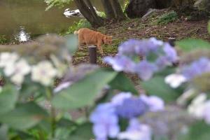 Cat Seen Over Hydrangea
