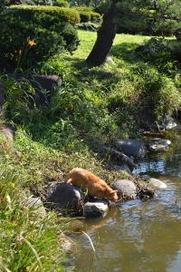 Cat Drinking Pond Water