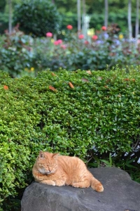Cat On The Rock (Rose Garden In The Background)