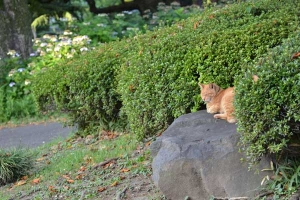 Cat On The Rock (Hydrangea In The Background)