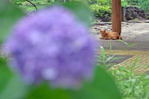Cat On The Stone Floor, Hydrangea