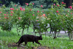 Cat Walking In The Rose Garden