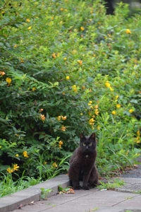 Cat and Yellow Flowers (Goldencup St. John's Wort)