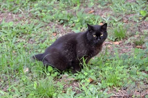 A Short Tail Black Cat