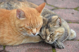 Cats Nuzzling