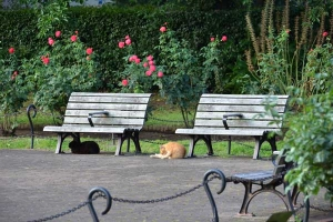 Cats, Bench and Roses