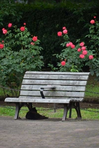 Cat, Bench and Roses