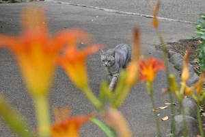 Cat and Flowers (Daylilies)
