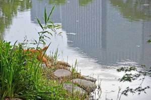 Cat and Pond Reflection