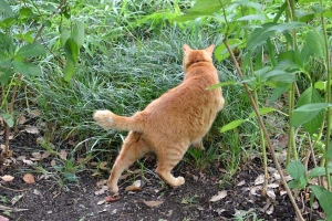 Cat Going Into The Grass
