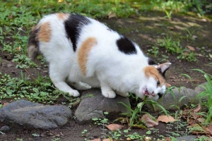 Sakura-chan The Cat Eating Grass