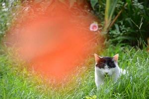 Cat and Orange Colors (Trumpet Vines)