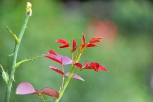 New Foliage of Rose Bush